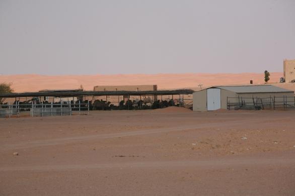 Camel Camp 114